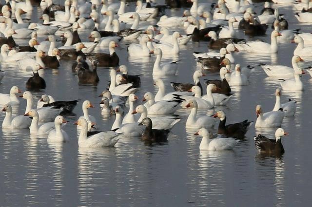 Refuge-geese_2